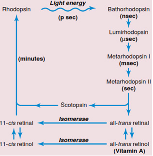 Siklus Penglihata Rodopsin Retina
