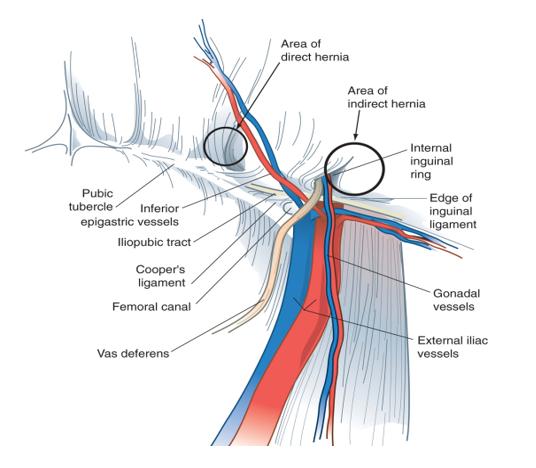 Anatomi Struktur Preperitoneal
