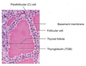 Histologi Kelenjar Tiroid