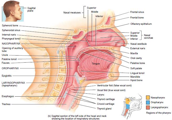 Anatomi Hidung Potongan Sagital