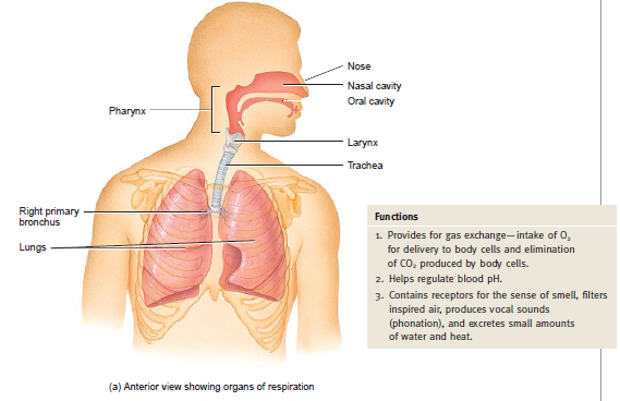 Anatomi Organ Respirasi Bagian Anterior