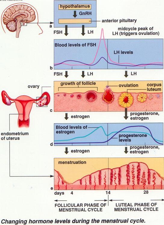 Perubahan Hormon pada Siklus Menstruasi